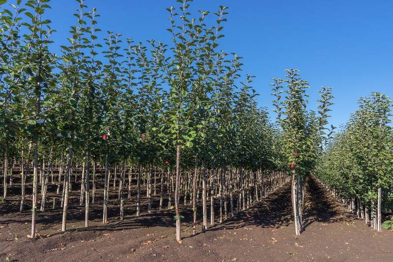 Tree nursery with young apple trees