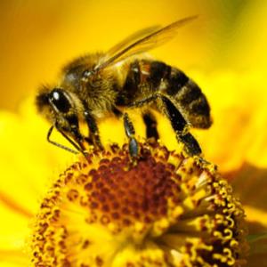 Včelařsky významné rostliny